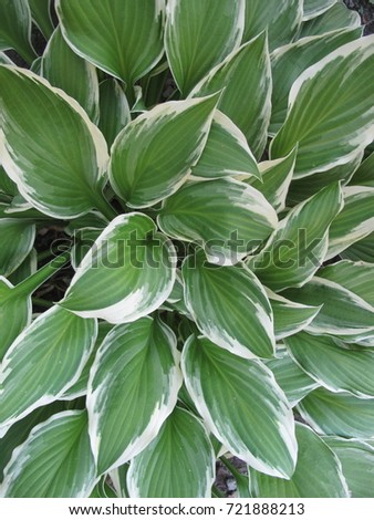 Green White Hosta Plant Garden Stock Photo Edit Now 721888213