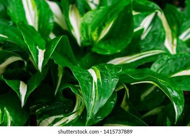 Green and white hosta plant. Hosta plants with wet leaves. Rain covered hosta plants. Upclose macro of Green hosta leaves.