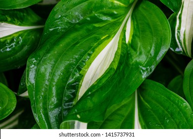 Hostas Images Stock Photos Vectors Shutterstock