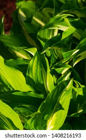 Green and white hosta plants. Hosta plants on a sunny day. Sunlit hosta plant on a summers day.