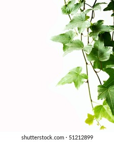 Green and white Ivy