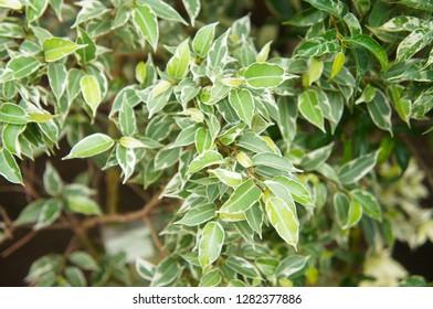 Green and white leaves of ficus benjamina kinky tree