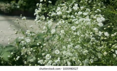 green white mist flower
