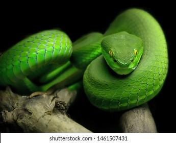 Green White-Lipped Pit Viper takes a break