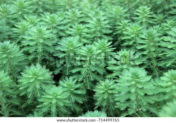 green whorled watermilfoil plants(Myriophyllum verticillatum) in garden