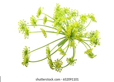 Green wild fennel flowers closeup isolated on white background.