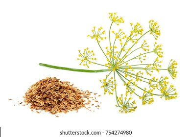 Green wild fennel flowers with dry seeds isolated close-up.