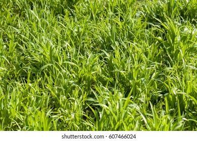 green wild grass in the field, note shallow depth of field