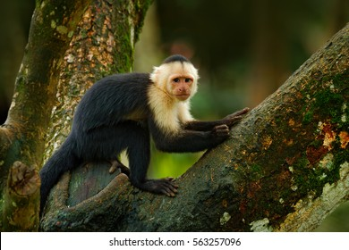Green wildlife from Costa Rica. Black monkey White-headed Capuchin, Cebus capucinus sitting on the tree branch in the dark tropical forest. Animal in the nature habitat.