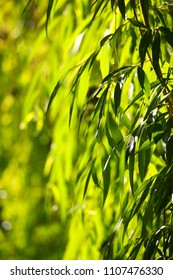 Green willow leaves background