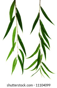green willow leaves on a white background