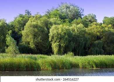 green willow with other trees on the river bank