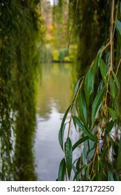Green willow tree leaves and yellow sallow branches closeup with calm water background. View trough tree tunnel to reflection of fall trees in lake water. Landscape of Sofiyivsky Park in Uman Ukraine