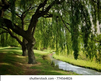 Green willow tree over small stream