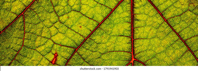 Green wine grape leaf with red veins, close up macro texture. Green wine leaf, banner  - Shutterstock ID 1791941903