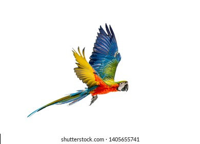 Green wing macaw ,colorful bird isolated flying with white background and clipping path.