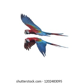 Green wing macaw flying ,Beautiful bird isolated on white background