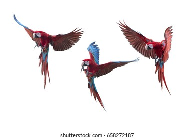 Green winged Macaw flying on white background