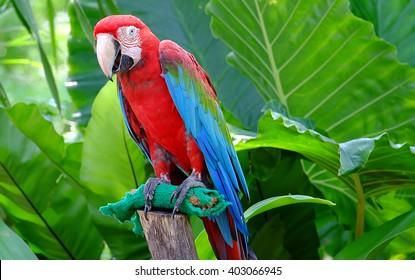 green wings macaw.