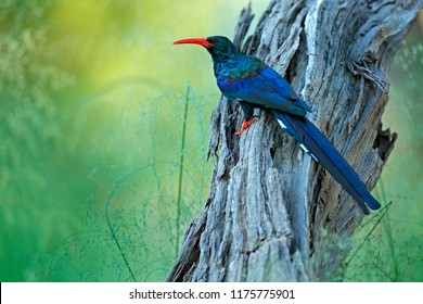 Green Wood hoopoe, Phoeniculus purpureus, bird family in the nature habitat. Animals sitting in the tree trunk, one bird fly. Wildlife scene from nature, Okavango, Moremi, Botswana.