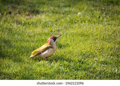 Green woodpecker on the lawn in the garden