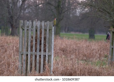 green woodpecker perched on fence