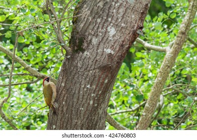 Green woodpecker (Picus viridis) male and young on nesting tree