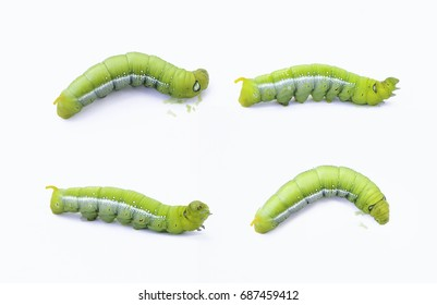 Green worm caterpillars animals isolate on white background