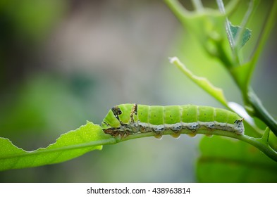 green worm eating green leaf in the lemon farm on day time