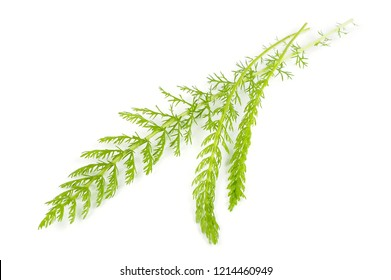 Green yarrow (achillea) leaves close-up isolated on white background
