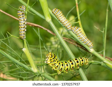 Green, yellow and black striped fifth instar of an Eastern Black Swallowtail butterfly caterpillar feeding on a fennel, with three fourth instars on the background