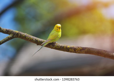 https://image.shutterstock.com/image-photo/green-yellow-budgerigar-parrot-melopsittacus-260nw-1398283763.jpg