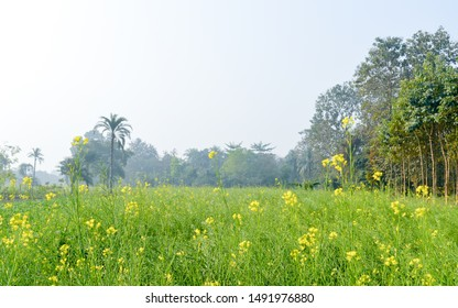 Green yellow Canola field and tree in a scenic agricultural landscape in rural Bengal, North East India. A typical natural scenery with an agricultural field in rural India depicting simple rural life