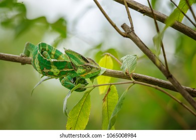 Green and yellow chameleon from front top view in tree branch