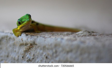 Green and yellow gecko lizard looking at camera in Ranamafana National Park in Madagascar.