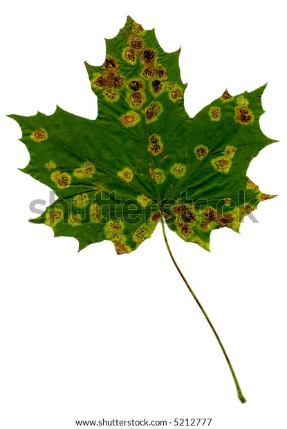 Green and yellow leaf on white background. red