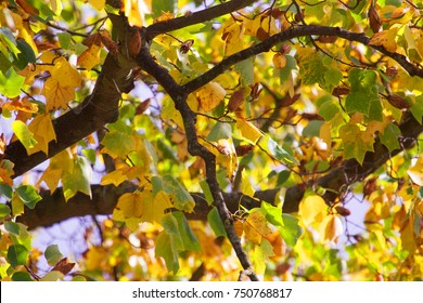 Green and yellow leaves on a maple tree in autumn sunshine