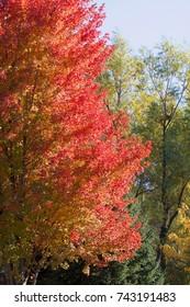 Green, yellow, orange maple tree