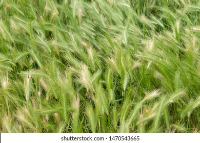 Green and yellow overgrown grass, gone to seed, blowing in the wind