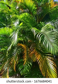 Green and yellow palm tree leaves in bright sunshine.