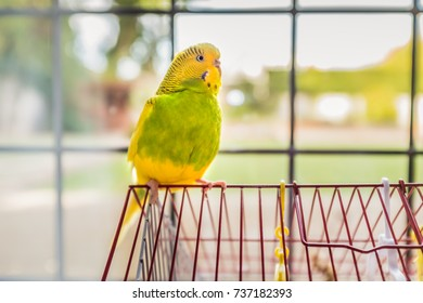 green and yellow parakeet budgerigar pet bird sitting on the top of her red cage with a back yard garden in soft focus behind a traditional lead lined window