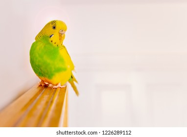 Green and yellow parakeet budgerigar sitting perched on top of a wooden framed wall mirror in a white room