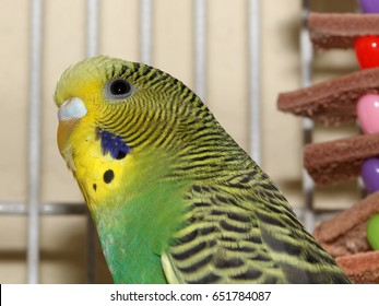 Green and Yellow Parakeet - Close up photograph of a standard green and yellow parakeet.  Selective focus on the parakeet's head area.