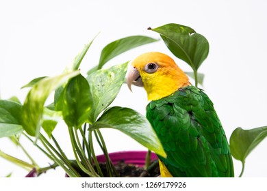 A green and yellow parrot is standing on a flower pot