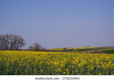 Green and yellow wheat field in spring season under blue sky, wide photo.