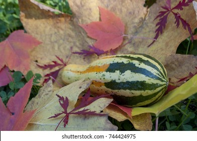 Green, yellow and white gourd resting on a bed of fall leaves photographed near Shelton, WA, USA.