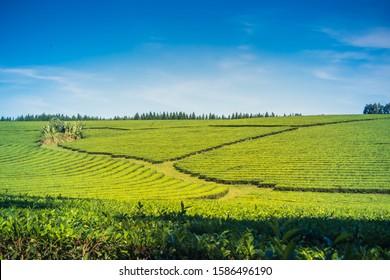 Green Yerba Mate tea plantation field in province Misiones Argentina,