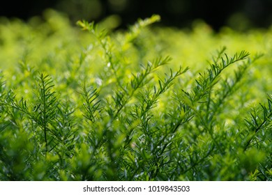 Green Yew Foliage in Spring