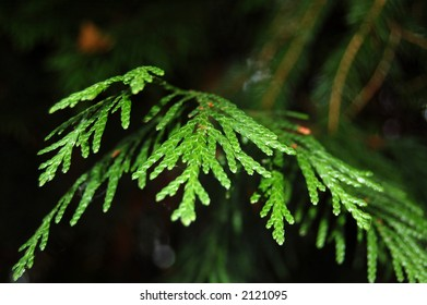 Green yew tree branch
