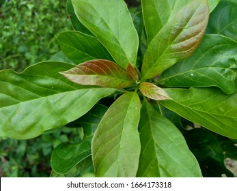 Green young avocado (Persea americana, avocado pear, alligator pear) leaves in the nature background